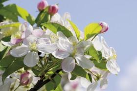 Urlaub im Meraner Land zur Zeit der Apfelblüte