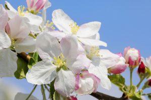 Südtirol zur Obstblüte